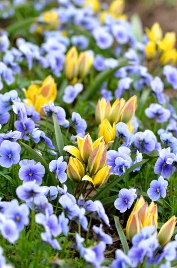 春爛漫の花回廊3993.jpg