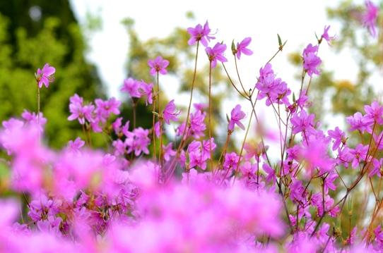 春爛漫の花回廊4060.jpg