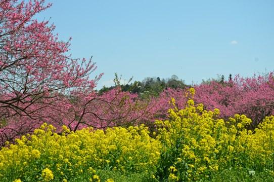桃と菜の花のコラボ0970.jpg