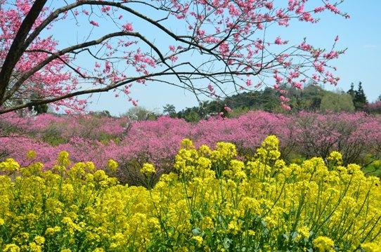 桃と菜の花のコラボ0986.jpg