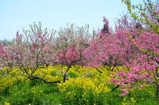 桃と菜の花のコラボ0996.jpg