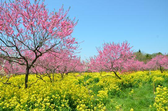 桃と菜の花のコラボ1012.jpg