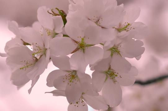 桜6368.jpg