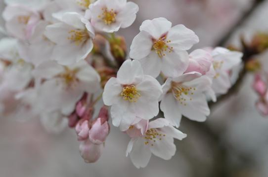 桜6383.jpg