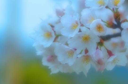 桜6488.jpg