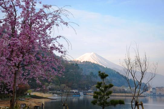 桜と富士1269.jpg