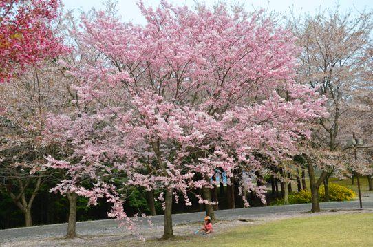 桜風景・花回廊0554.jpg