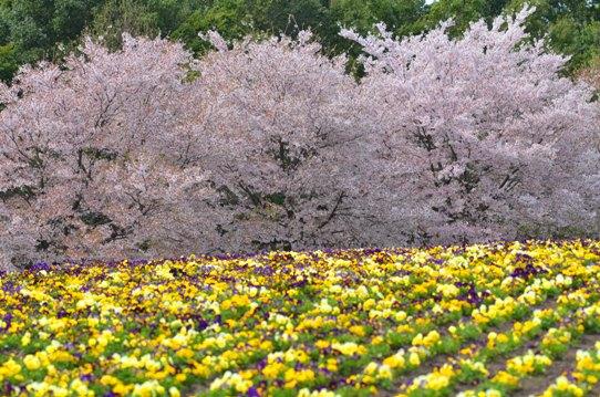 桜風景・花回廊0645.jpg