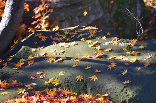 楓落葉2610.jpg