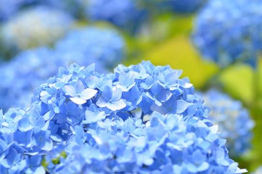 水色の紫陽花5353.jpg