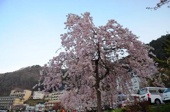 湖畔の桜1260.jpg