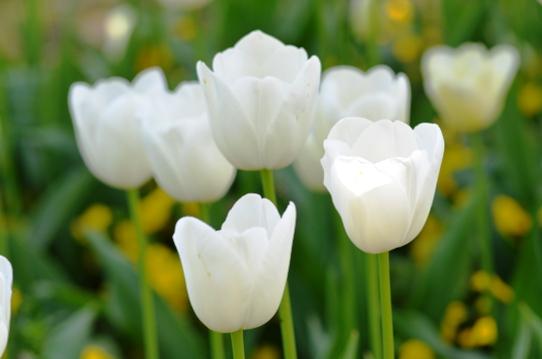 白いチューリップ・とっとり花回廊7133.jpg