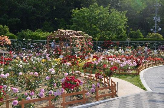 福山SA上りのバラ園2028.jpg