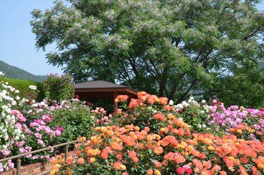 福山SA下りのバラ園1730.jpg