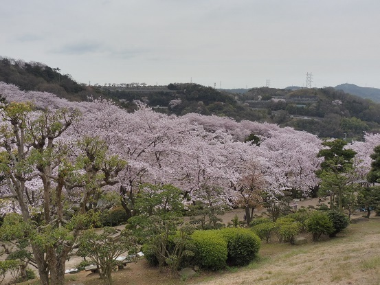 種松山の桜1030015.jpg