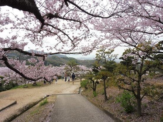 種松山の桜1030019.jpg