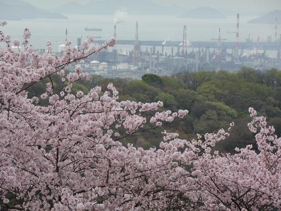 種松山の桜1030021.jpg