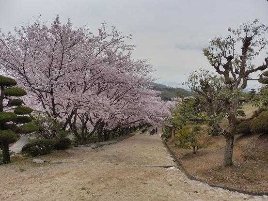 種松山の桜1030026.jpg