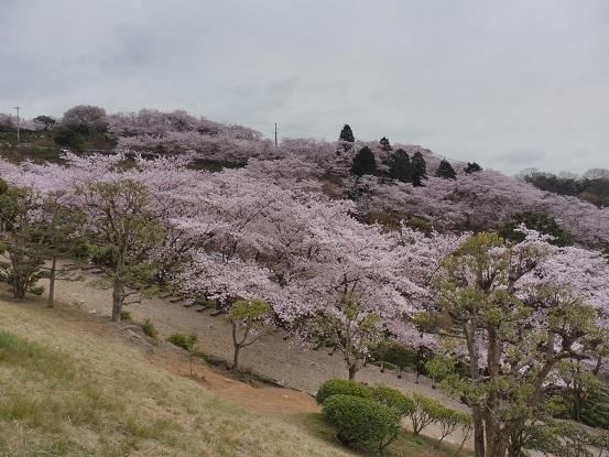 種松山の桜1030036.jpg