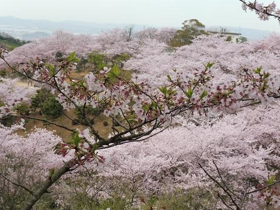 種松山の桜1030039.jpg