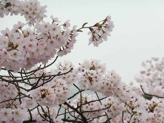 種松山の桜1210024.jpg