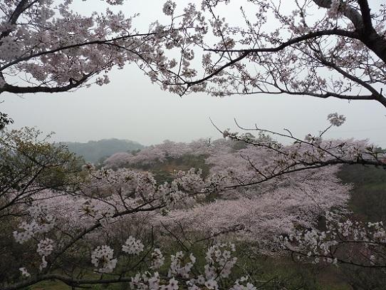 種松山の桜1210027.jpg