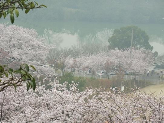 種松山の桜1210039.jpg