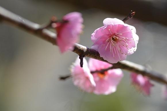 種松山の梅6119.jpg