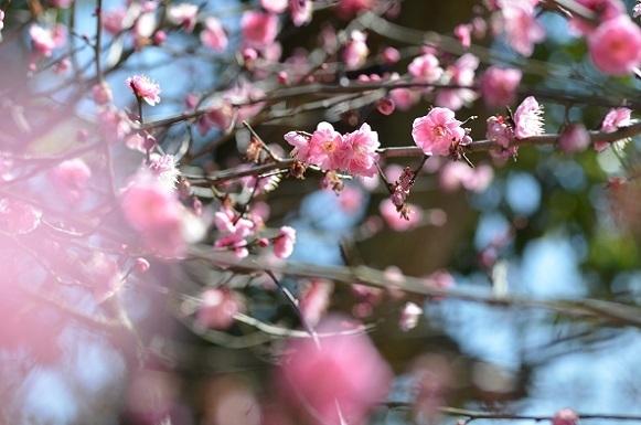 種松山の梅6123.jpg