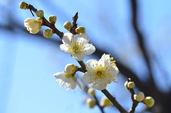 種松山の梅6143.jpg