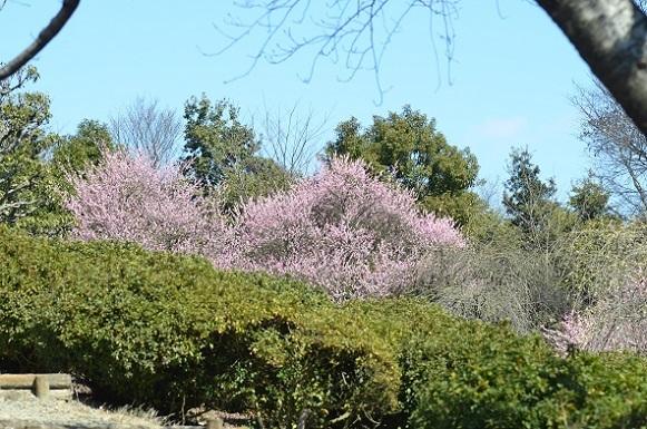 種松山の梅6151.jpg