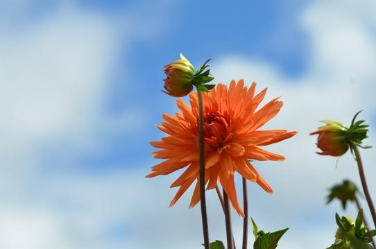 空とオレンジのダリア6916.jpg
