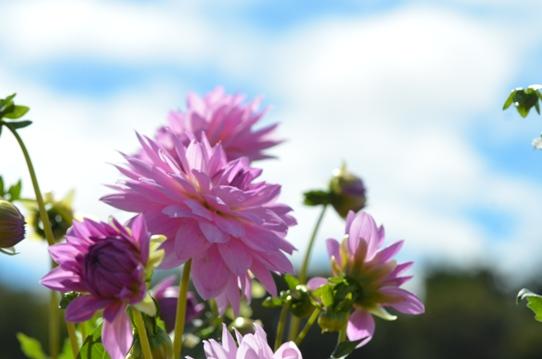 空とピンクのダリア7211.jpg
