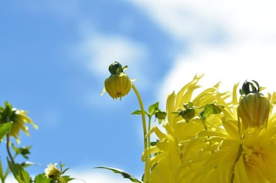 空と黄色のダリア7214.jpg