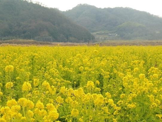 笠岡の菜の花1390108.jpg