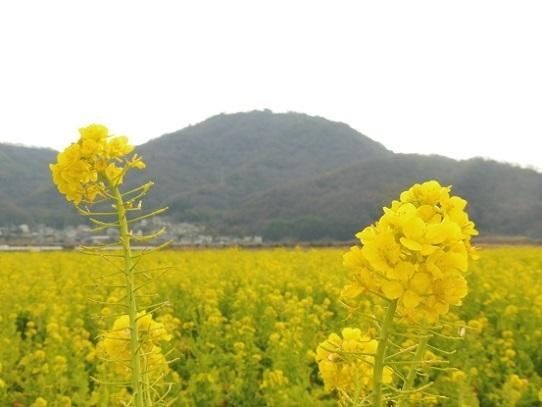 笠岡の菜の花1390113.jpg