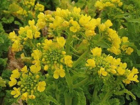 笠岡の菜の花1390136.jpg