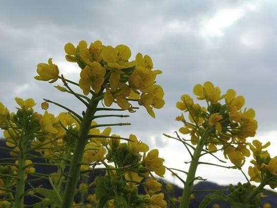笠岡の菜の花1390146.jpg