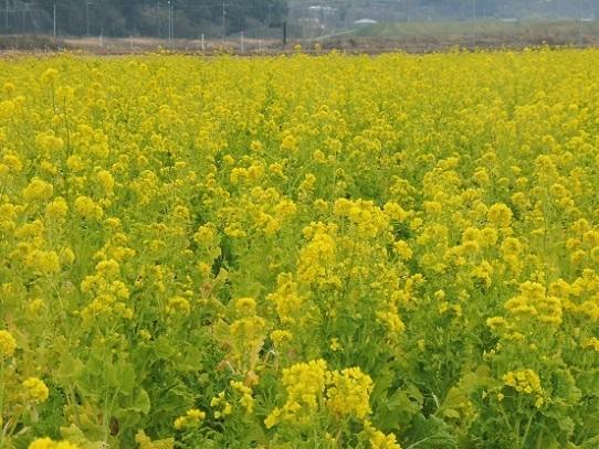 笠岡の菜の花1390149.jpg