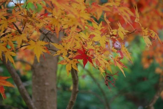 紅葉0109彫刻の森美術館.jpg