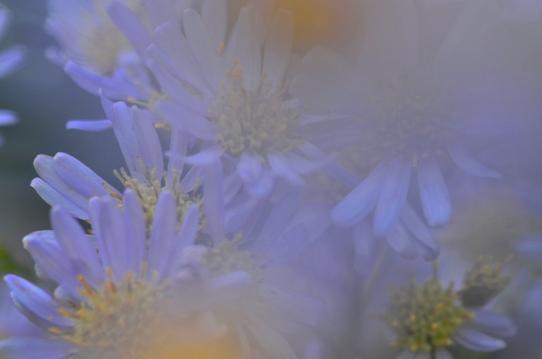 紫苑1572.jpg