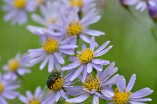 紫苑6607.jpg