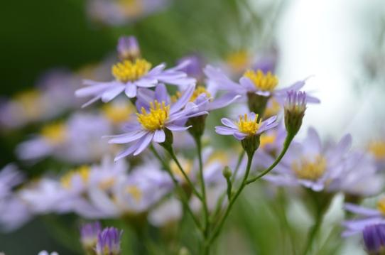 紫苑6608.jpg