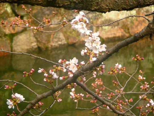 美観地区の桜1040750.jpg