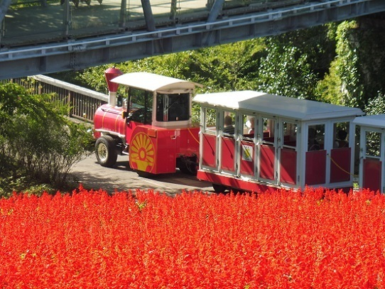 花の丘のサルビア1300391.jpg