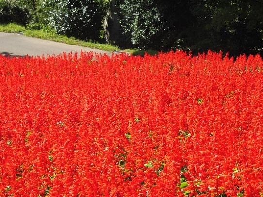 花の丘のサルビア1300392.jpg