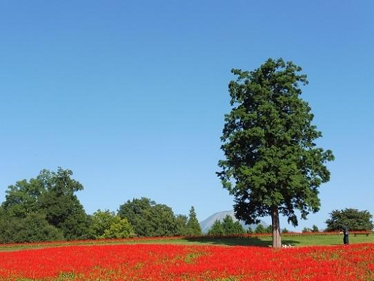 花の丘のサルビア1300402.jpg