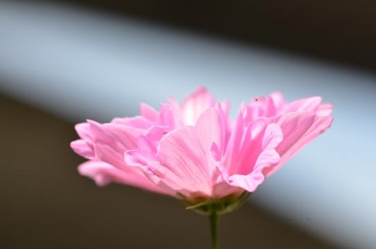 花回廊のコスモス1533.jpg
