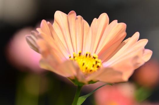 花回廊のコスモス1538.jpg