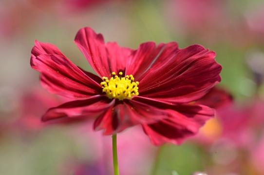 花回廊のコスモス1543.jpg